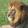 Royalty-Free Stock Photo: Male Lion Resting