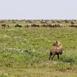 Hyena Stalking Wildebeest - Stock Photo