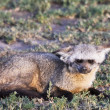 Bat Eared Fox in Serengeti — Stock Photo
