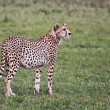 Alert Cheetah in Grumeti Reserves — Stock Photo