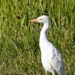 Little Egret in Tall Grass — Stock Photo