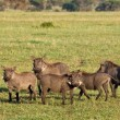 Warthogs in Tanzania — Stock Photo #3655323