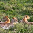 Lion Pride in Serengeti — Stock Photo #3655355