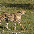 Cheetah Stalking — Stock Photo