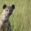 Stock Photo: Spotted Hyenin Tall Grass