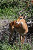 Beautiful Impala Buck Grazing in Serengeti — Stock Photo