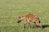 Hyena Trotting — Stock Photo