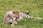 Cheetah Cleaning Itself — Stock Photo