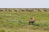 Hyena Stalking Wildebeest — Stock Photo