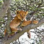 Tick Infested Lion Cub — Stock Photo