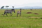 Baby Zebra with Mother — Stock Photo