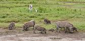 Warthogs Feeding — Stock Photo