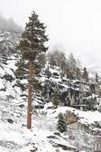 Lone Sequoia in Winter — Stock Photo
