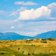 Stock Photo: Rolling Hill Vineyards