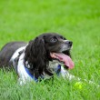Happy spaniel — Stock Photo
