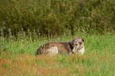 猎狼 — 图库照片