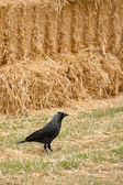 Rook and straw — Stock Photo