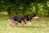 Dog in motion — Stock Photo
