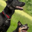 Excited dogs — Stock Photo