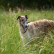 Stock Photo: Borzoi