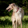 Stock Photo: Elegant borzoi