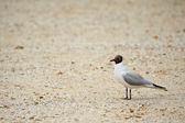 Blackhead gull — Stock Photo