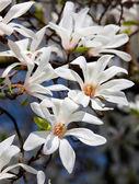 Magnolia kobus — Stockfoto
