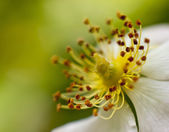 Macro blooming flower — Stock Photo