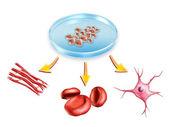 βλαστικά κύτταρα — Φωτογραφία Αρχείου