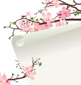 Sakura blossom — Stock Photo