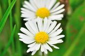 デイジーの花 — ストック写真
