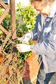 Bahçıvan tırmanıcı kesmek — Stok fotoğraf
