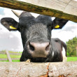 Cow nose — Stock Photo
