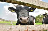 Cow nose — Stock Photo