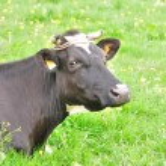 Sad cow — Stock Photo