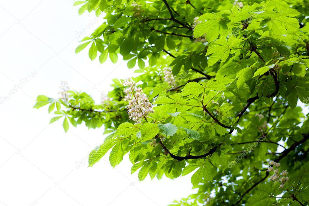 板栗树分支的叶子和花