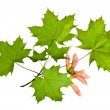 Foto de Stock  : Maple leaves