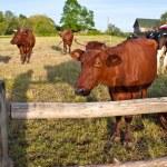 Cow — Stock Photo #3347914