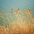 Reed near the lake — Stock Photo