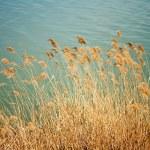 Reed, perto do lago — Foto Stock