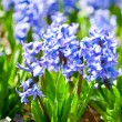 Stock Photo: Perfumed hyacinth flowers