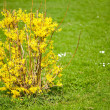 Bush with yellow flowers - Stock Photo