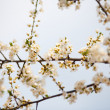 Royalty-Free Stock Photo: Cherry branches and flowers