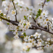 Cherry branches and flowers — Stock Photo #2885418