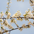Cherry branches and flowers — Stock Photo #2885421