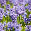 Stock Photo: Beautiful hyacinth flowers