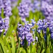 Beautiful hyacinth flowers - Stock Photo