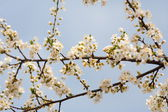 Cherry branches and flowers — Stock Photo