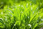 Fresh grass in sunlight — Stock Photo