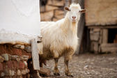 Cute goat — Stock Photo